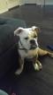 Victorian Bulldog Puppy For Sale in STAFFORD, VA