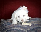 Labradoodle Puppy For Sale in HOUSTON, TX