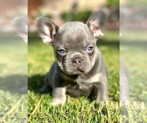 French Bulldog Puppy for sale in OJAI, CA, USA