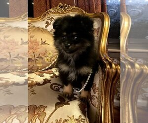 Pomeranian Puppy for sale in ARNOLD, MD, USA