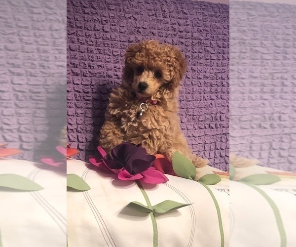Puppyfindercom View Ad Photo 1 Of Listing Poodle