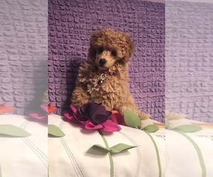 Poodle (Miniature) Puppy for sale in DENVER, CO, USA