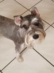 Schnauzer (Miniature) Puppy for sale in MELBOURNE, FL, USA