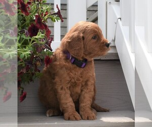 Goldendoodle (Miniature) Puppy for sale in MILLERSBURG, OH, USA