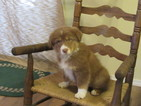 Australian Shepherd Puppy For Sale in SALINA, Oklahoma,