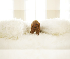 Poodle (Standard) Puppy for sale in LAS VEGAS, NV, USA