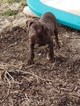 German Shorthaired Pointer Puppy For Sale in HINDSBORO, IL, USA