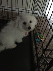 Bichon Frise Puppy For Sale in MARIETTA, GA