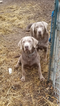 Labrador Retriever Puppy For Sale in ATHOL, ID, USA