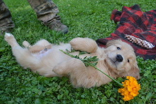 Golden Retriever Puppy For Sale in WHITEHALL, PA, USA