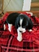 Beagle-English Springer Spaniel Mix Puppy For Sale in MARICOPA, AZ, USA