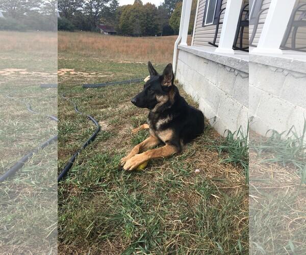 Medium Photo #2 German Shepherd Dog Puppy For Sale in ANDERSONVILLE, TN, USA