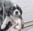Cocker Spaniel Puppy For Sale in SAN JOSE, CA
