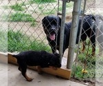 Small #40 Rottweiler