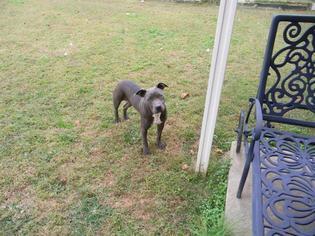 Blue - Pit Bull Terrier Dog For Adoption