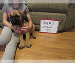 Small #12 Mastiff