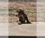 Puppy 4 Aussiedoodle-Labradoodle Mix