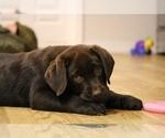 Small Photo #3 Labrador Retriever Puppy For Sale in SAN JOSE, CA, USA