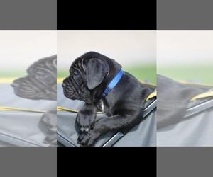 Cane Corso Puppy for Sale in PHOENIX, Arizona USA