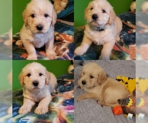 Labradoodle Puppy for Sale in MODESTO, California USA