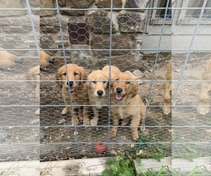 Golden Retriever Puppy for sale in CATOOSA, OK, USA