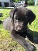 Labrador Retriever Puppy For Sale in MARYVILLE, MO, USA