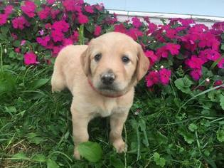Goldendoodle Puppy For Sale in MIDDLEBURG, PA, USA