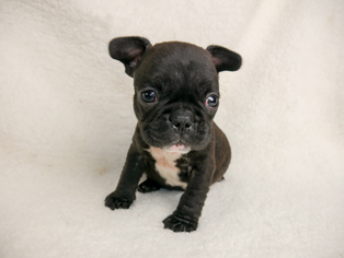 French Bulldog Puppy For Sale in BELLEAIR, FL, USA