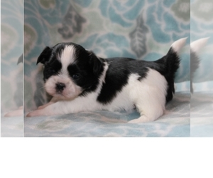 Shih Tzu Puppy for sale in SPRINGFIELD, OR, USA