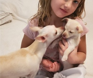 Chihuahua Puppy for sale in CO SPGS, CO, USA