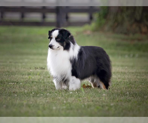 Father of the Miniature American Shepherd puppies born on 04/18/2019