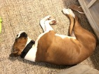 Boxer Puppy For Sale in WESLEY CHAPEL, FL,