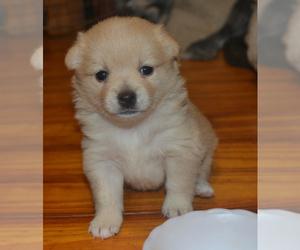 Schipperke Dog for Adoption in SEYMOUR, Missouri USA