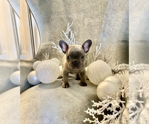 French Bulldog Puppy for Sale in SAN DIEGO, California USA