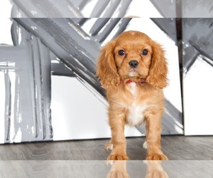Cavalier King Charles Spaniel Puppy for sale in BEL AIR, MD, USA