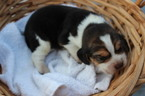 Beagle Puppy For Sale in POTTERSVILLE, MO, USA