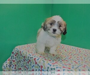 Zuchon Puppy for sale in PATERSON, NJ, USA