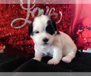Shih-Poo Puppy for Sale in HOMEWOOD, Illinois USA