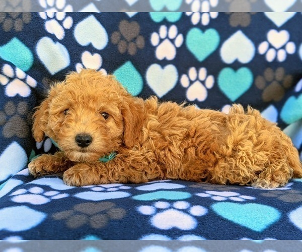 Medium Photo #4 Goldendoodle Puppy For Sale in LEOLA, PA, USA