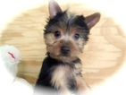 Yorkshire Terrier Puppy For Sale in HAMMOND, IN,