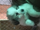 Great Pyrenees Puppy For Sale in SILVER LAKE, Indiana,