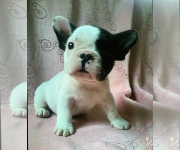 Medium Photo #4 French Bulldog Puppy For Sale in STATEN ISLAND, NY, USA