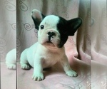 Small Photo #4 French Bulldog Puppy For Sale in STATEN ISLAND, NY, USA