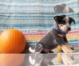 Australian Cattle Dog Dog for Adoption in LANCASTER, Pennsylvania USA