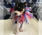 Puppy 2 Rat Terrier
