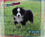 Dallas Mini Black Tri Female Aussie
