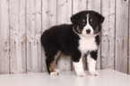 Australian Shepherd Puppy For Sale in MOUNT VERNON, OH