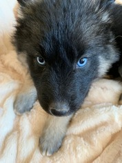 German Shepherd Dog-Siberian Husky Mix Puppy For Sale in HARRISON, AR, USA
