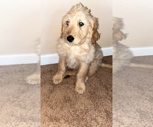 Goldendoodle Puppy for sale in LACEY, WA, USA