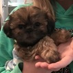 Shih Tzu Puppy For Sale in AUSTIN, TX, USA